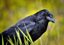 language-of-crows