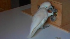 cockatoos-crack-lock-picking-puzzle