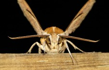 hawkmoths-rub-genitals-to-repel-bats