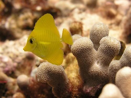 Тропическая рыбка Желтая Тан
