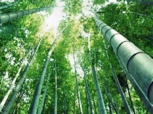Бамбук - эко-сырье будущего