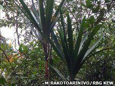 Новая пальма в Мадагаскаре