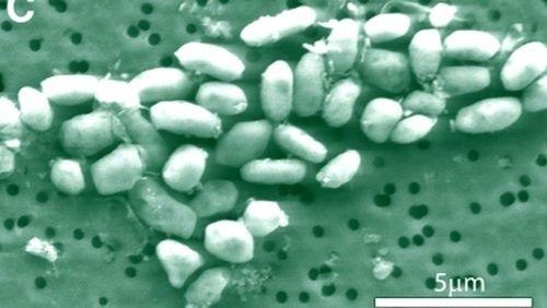 Бактерии, питающиеся мышьяком