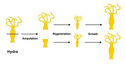 регенерация гидры