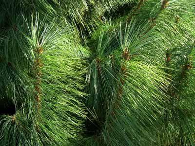 Деревья с игольчатыми волокнами, напоминающие сосны
