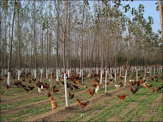 chickens in the agroforestry system