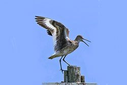 Береговые птицы: чудо во плоти