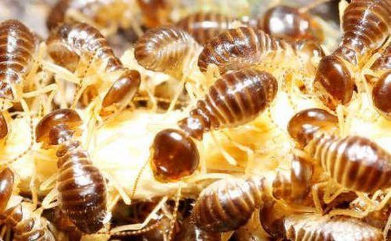 Термиты добывают золото