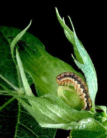 Когда гусеница или жук приступает к трапезе и начинает жевать лист, растение реагирует на атаку, вырабатывая особые химические вещества