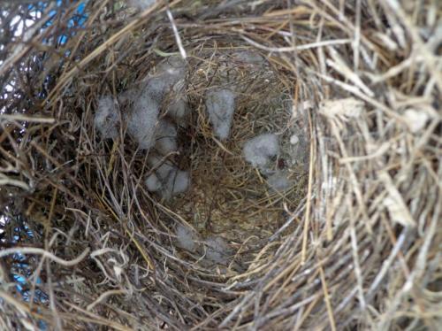 Ватные шарики в гнезде вьюрка