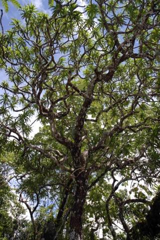 Драцена Кавесаака (Kaweesak), названная в честь своего первооткрывателя, достигает в высоту 12 метров.