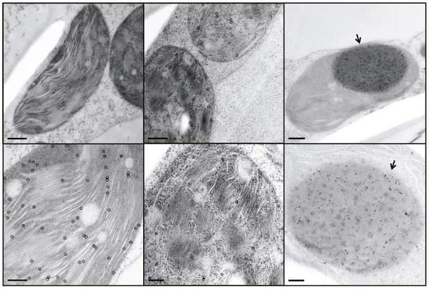 Модифицированный табак под микроскопом