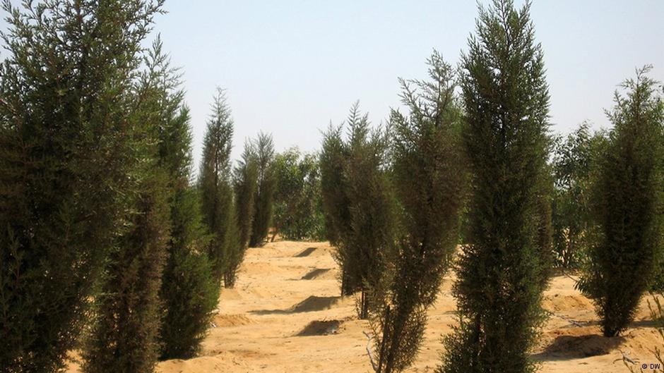 Египетские ученые нашли способ выращивать зеленые леса в пустыне. Facepla.net новости экологии