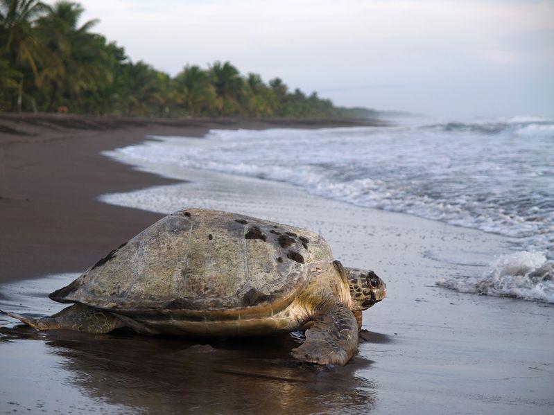 Дроны помогают ученым контролировать миграцию морских черепах