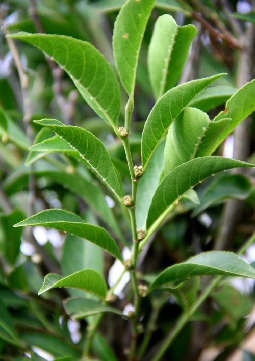 На Филиппинах обнаружили растение, которое питается металлом