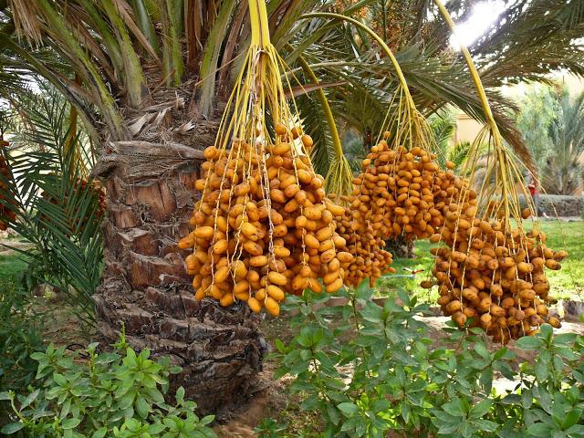 Сок финиковой пальмы против ржавчины