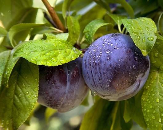 plumcot
