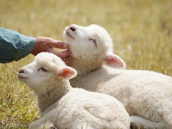 Ставрополье получит более 80 млн рублей на развитие овцеводства
