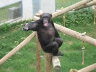chimps-teach-kids-to-communicate-with-humans