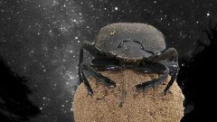 dung-beetles