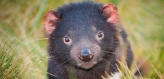 hope-for-threatened-tasmanian-devils