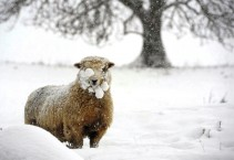 sheep-under-snow