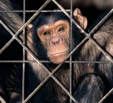 rescues-chimp