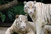 50-fun-facts-about-tigers