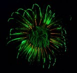 jellyfish-fireworks-of-life