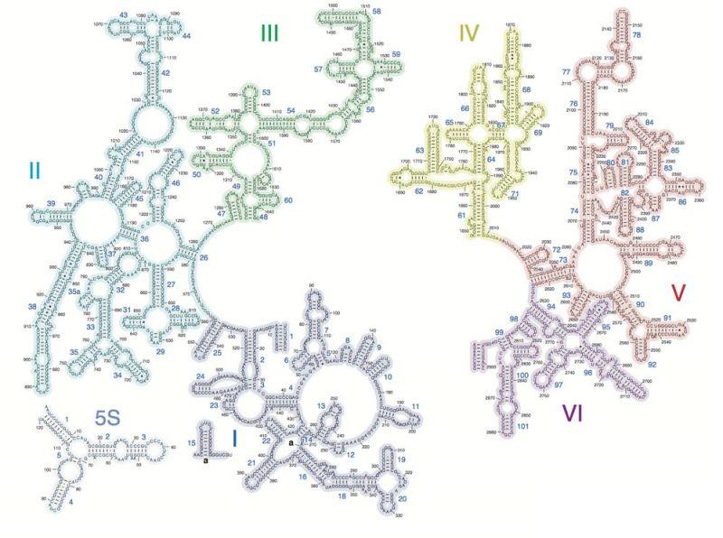 Thermus Thermophilus - сложная многокомпонентная рибосомная РНК