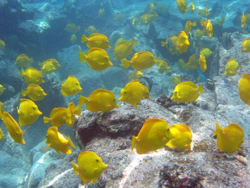 Учреждение морских заповедников на гавайском побережье способствовало восстановлению популяции рыбок Желтая Тан