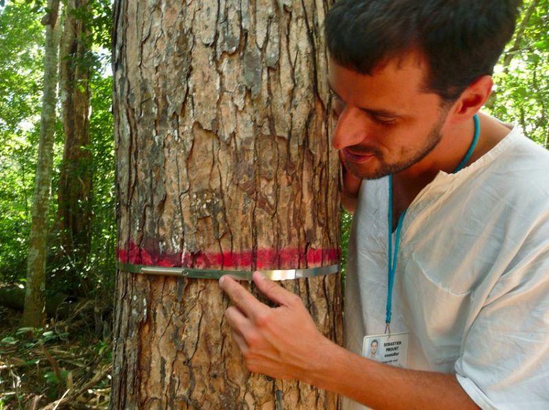 Специальные кольца помогают измерять темпы роста деревьев