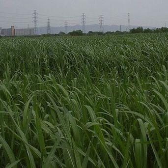 Изменения единственного гена могут заставить расти быстрее корни растений для производства биотоплива