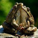 жабья любовь