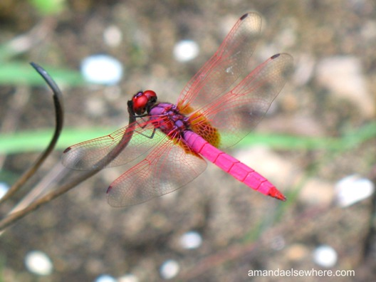 pink-dragonfly